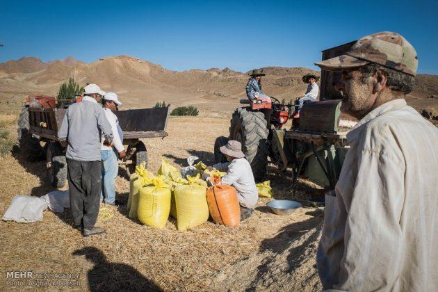 """حصاد القمح في قرية """"سُه"""" التاريخية باصفهان11"""