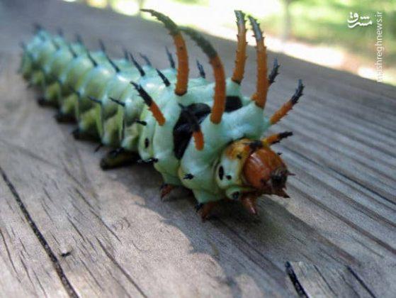 حشرات عجیب جهان12