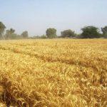 ايران تتوقع انتاج 10 ملايين طن من القمح في السنة الزراعية الجارية