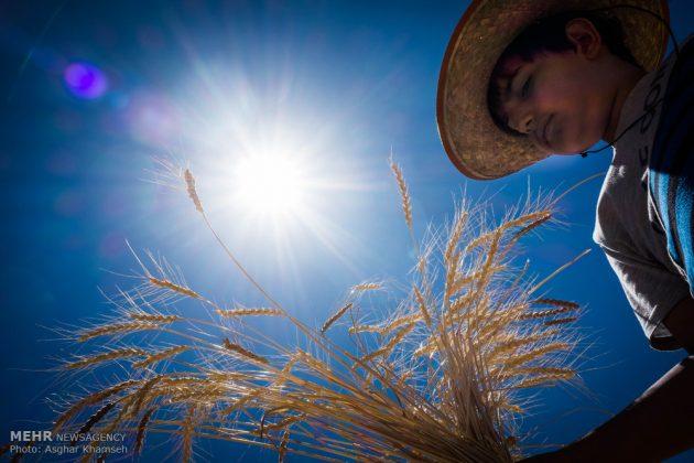 """حصاد القمح في قرية """"سُه"""" التاريخية باصفهان2"""