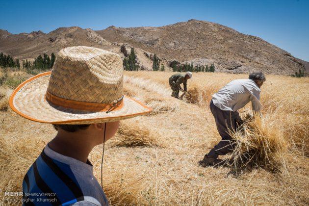 """حصاد القمح في قرية """"سُه"""" التاريخية باصفهان4"""