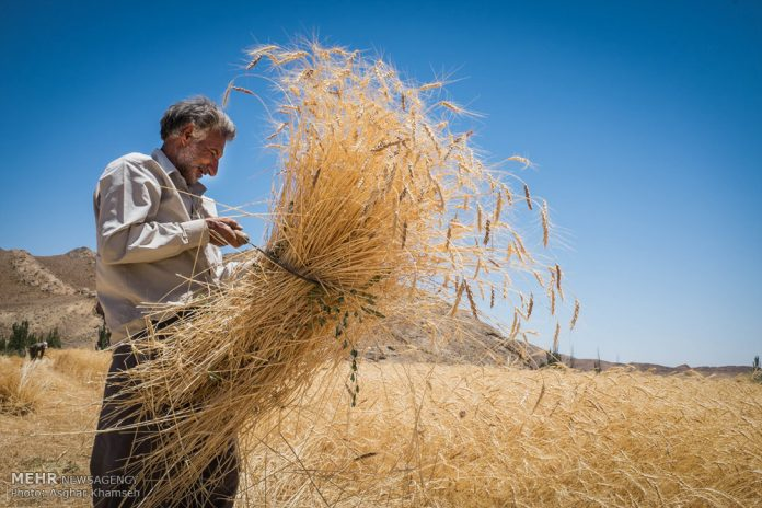 حصاد القمح في قرية