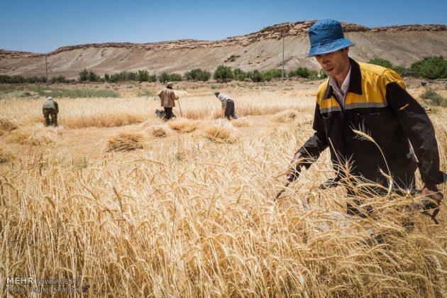 """حصاد القمح في قرية """"سُه"""" التاريخية باصفهان6"""