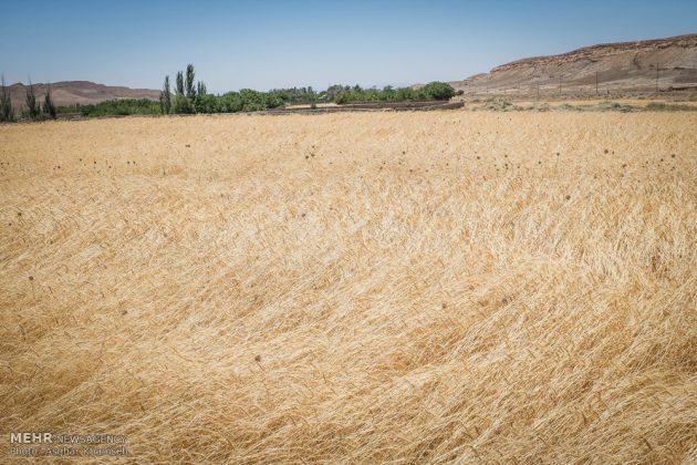 """حصاد القمح في قرية """"سُه"""" التاريخية باصفهان7"""