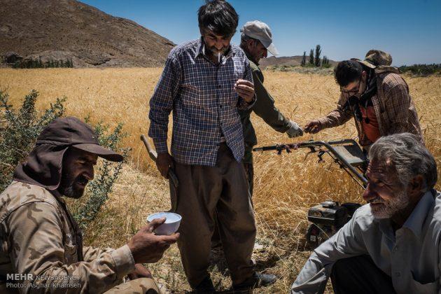 """حصاد القمح في قرية """"سُه"""" التاريخية باصفهان8"""
