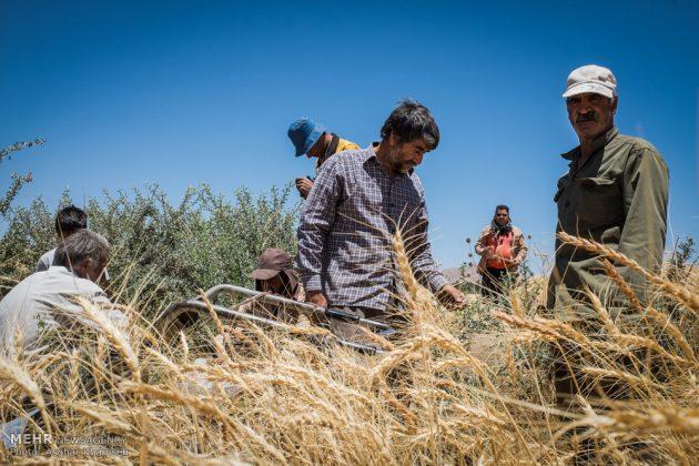 """حصاد القمح في قرية """"سُه"""" التاريخية باصفهان9"""