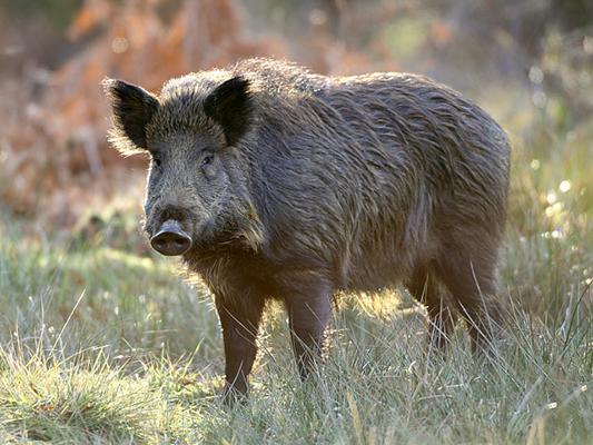 Iran to Issue Boar Hunting Permits for Foreigners