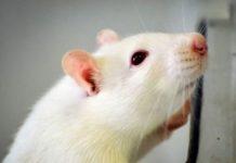 تولید مرگ موش غیر سمی نانویی
