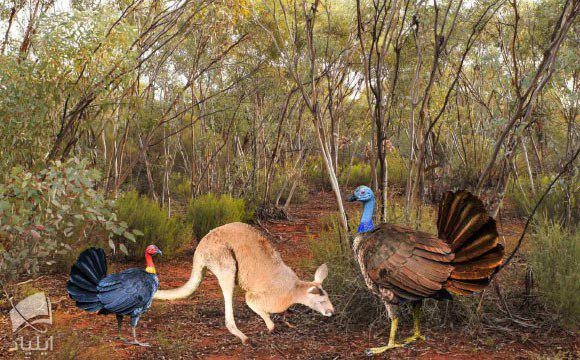 بوقلمونهای غولپیکر ۱ تا ۳ میلیون ساله در استرالیا