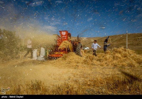حصاد القمح في حقول شمال غرب إيران1