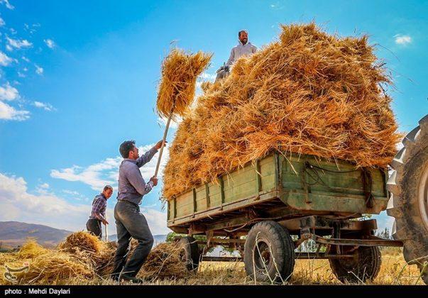 حصاد القمح في حقول شمال غرب إيران10