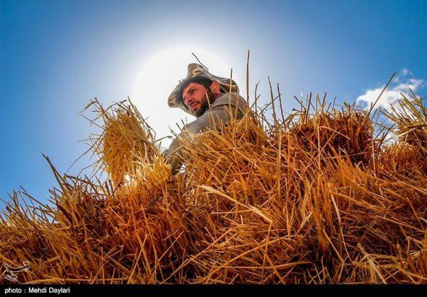 حصاد القمح في حقول شمال غرب إيران11