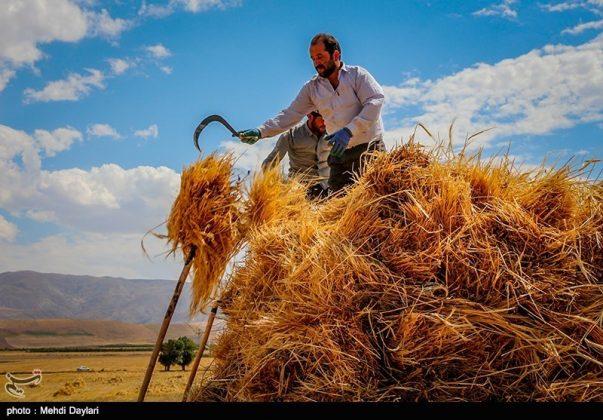 حصاد القمح في حقول شمال غرب إيران12