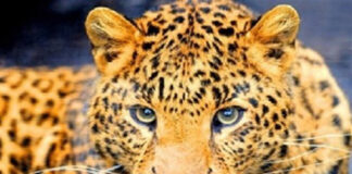 Male Persian Leopard to Return Home from Portugal for Mating