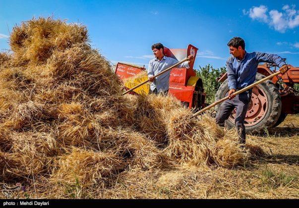 حصاد القمح في حقول شمال غرب إيران14