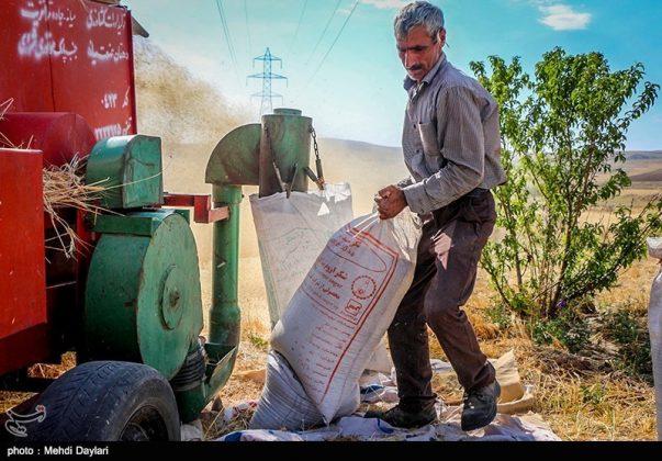 حصاد القمح في حقول شمال غرب إيران1پ5