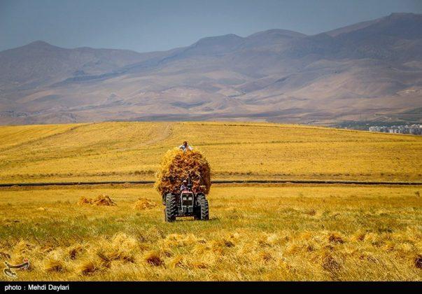 حصاد القمح في حقول شمال غرب إيران16
