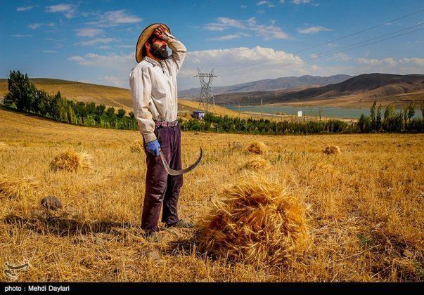 حصاد القمح في حقول شمال غرب إيران17