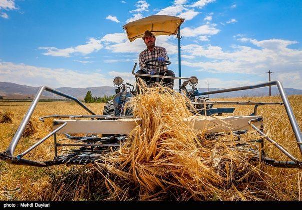 حصاد القمح في حقول شمال غرب إيران18