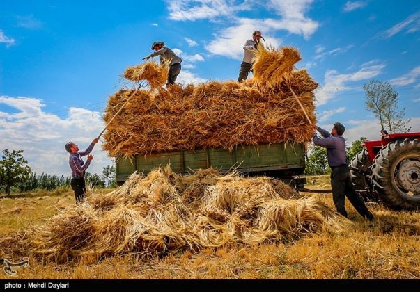 حصاد القمح في حقول شمال غرب إيران19