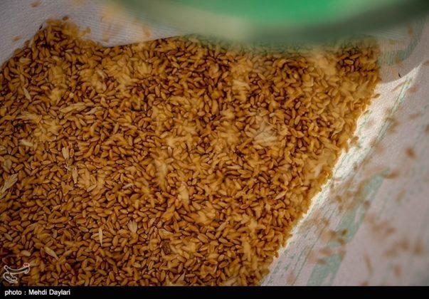 حصاد القمح في حقول شمال غرب إيران2