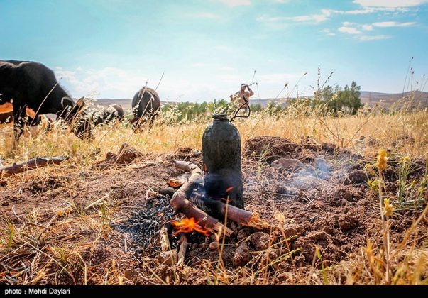 حصاد القمح في حقول شمال غرب إيران20
