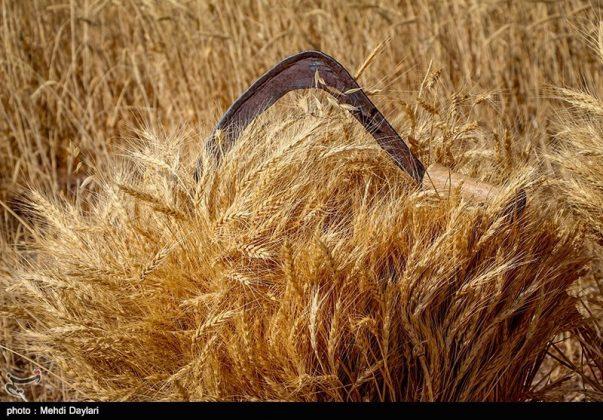 حصاد القمح في حقول شمال غرب إيران221
