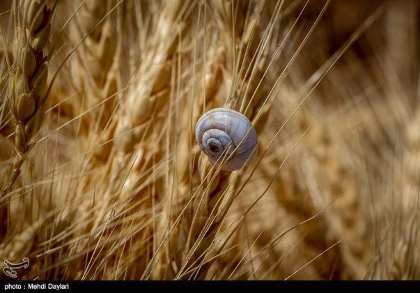 حصاد القمح في حقول شمال غرب إيران23