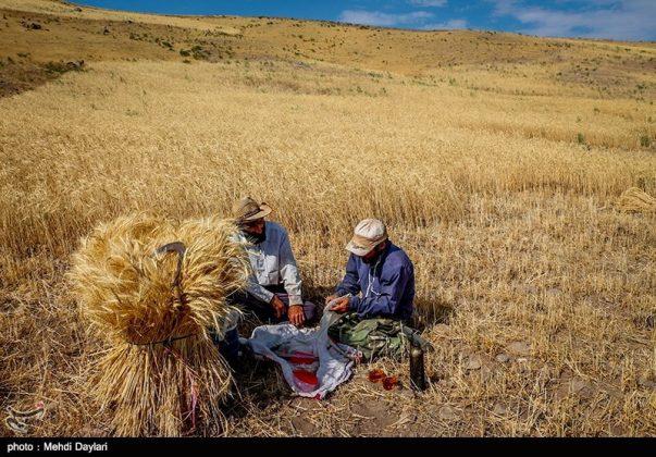 حصاد القمح في حقول شمال غرب إيران24