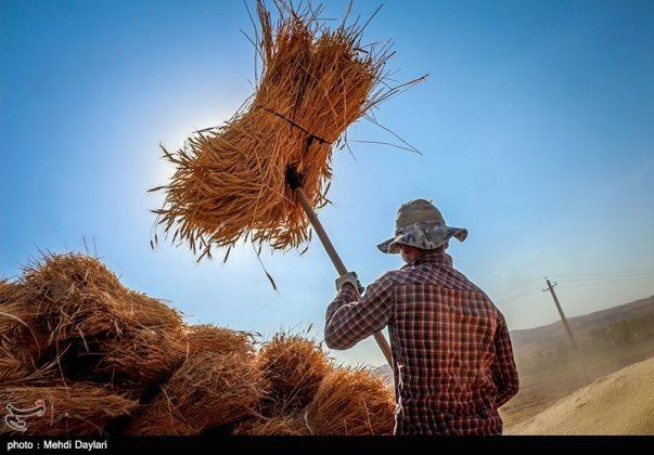 حصاد القمح في حقول شمال غرب إيران3