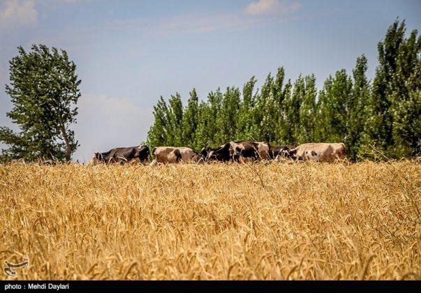 حصاد القمح في حقول شمال غرب إيران4