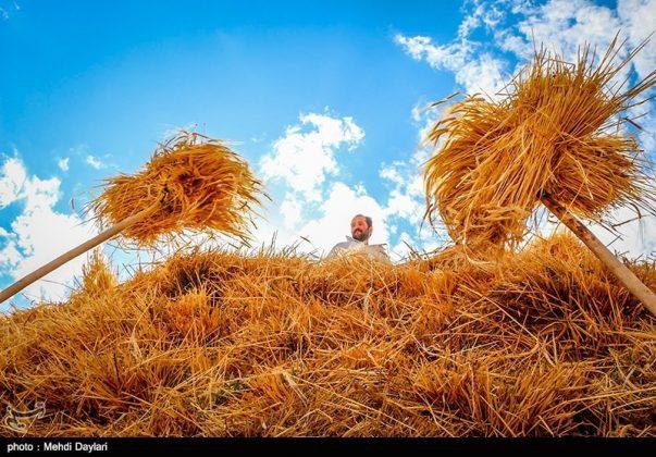 حصاد القمح في حقول شمال غرب إيران5