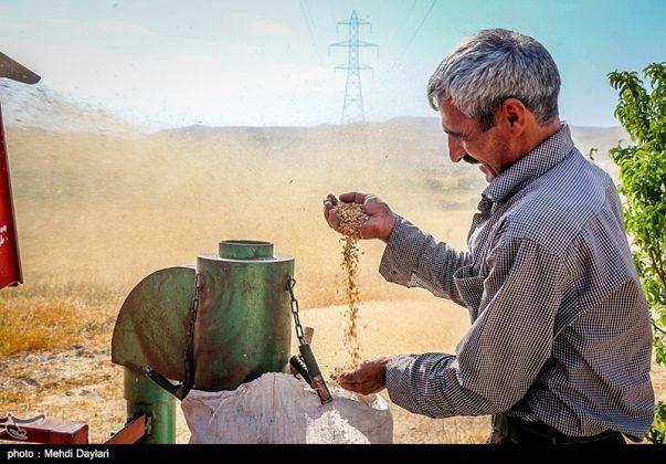 حصاد القمح في حقول شمال غرب إيران6