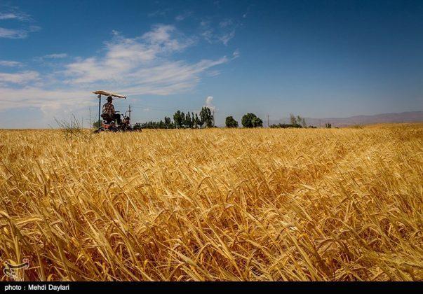 حصاد القمح في حقول شمال غرب إيران7