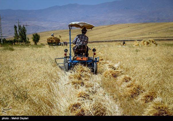 حصاد القمح في حقول شمال غرب إيران8