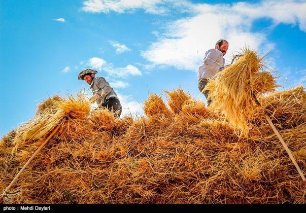 حصاد القمح في حقول شمال غرب إيران9