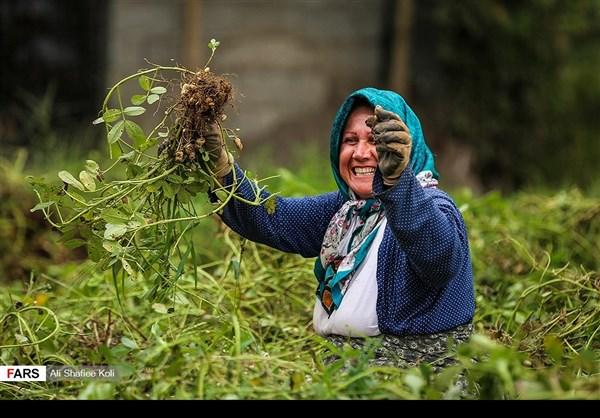 """حصاد """"الفول السوداني"""" شمال ايران1"""