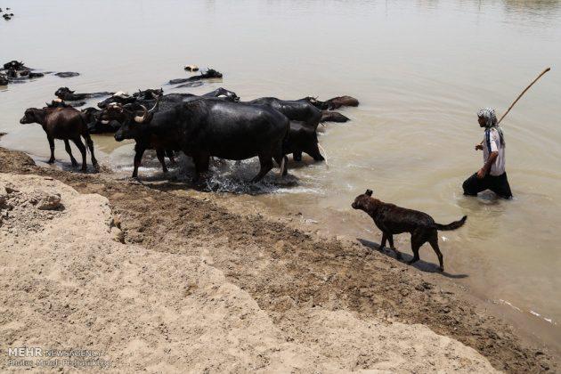 جواميس الماء في نهر كارون في أهواز1