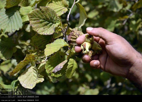 موسم حصاد البندق فی شمال ایران1