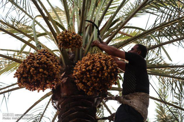 جني التمور بمحافظة خوزستان1