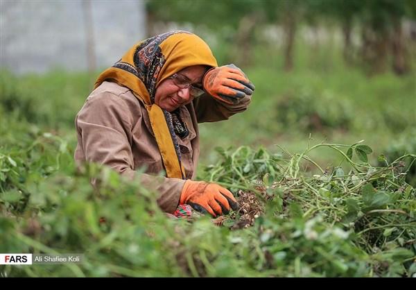 """حصاد """"الفول السوداني"""" شمال ايران10"""