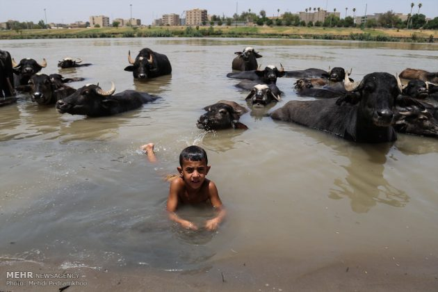 جواميس الماء في نهر كارون في أهواز10