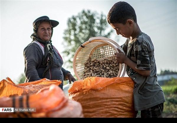 """حصاد """"الفول السوداني"""" شمال ايران11"""