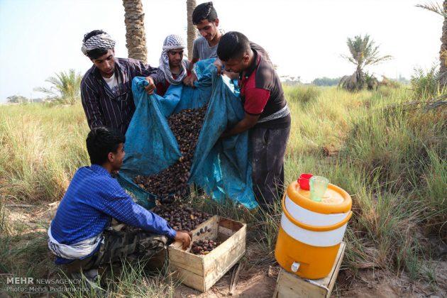 جني التمور بمحافظة خوزستان11