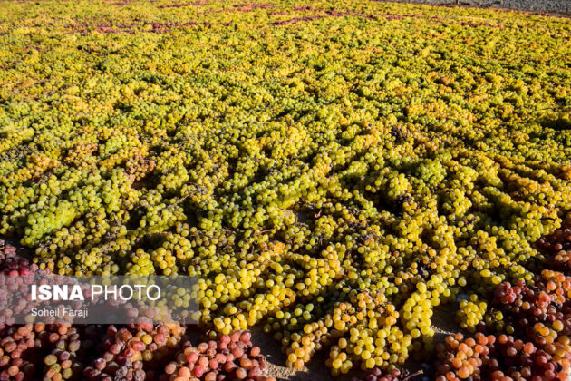 Fifth Urmia Grape Festival Underway in Northwestern Iran 12