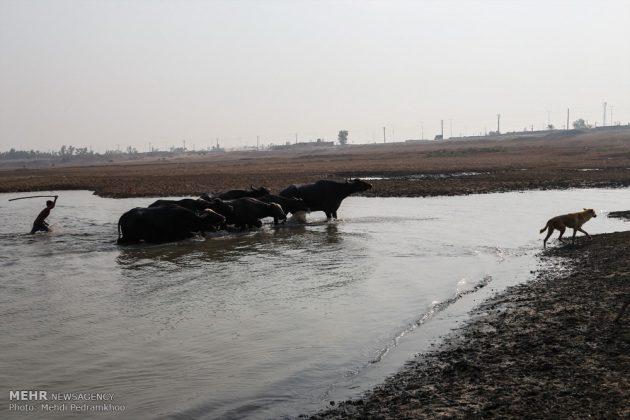 جواميس الماء في نهر كارون في أهواز12