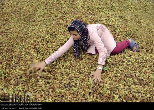 موسم حصاد البندق فی شمال ایران12
