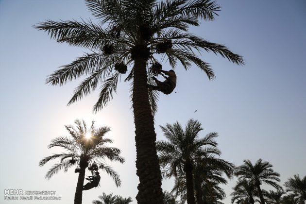 جني التمور بمحافظة خوزستان12