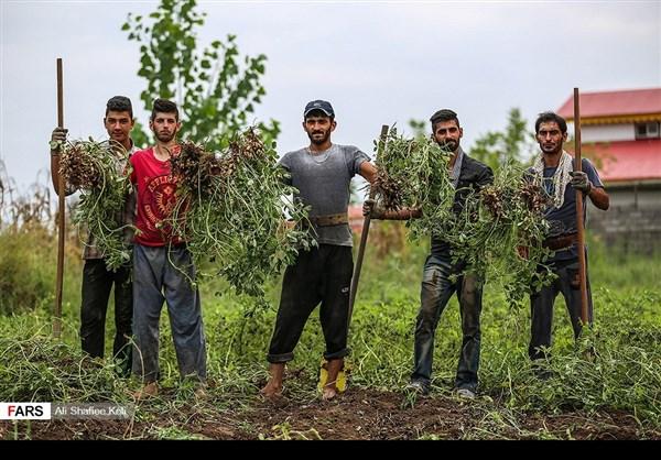 """حصاد """"الفول السوداني"""" شمال ايران13"""
