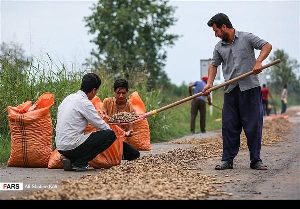 """حصاد """"الفول السوداني"""" شمال ايران14"""